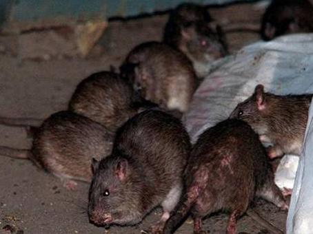 que-comen-las-ratas
