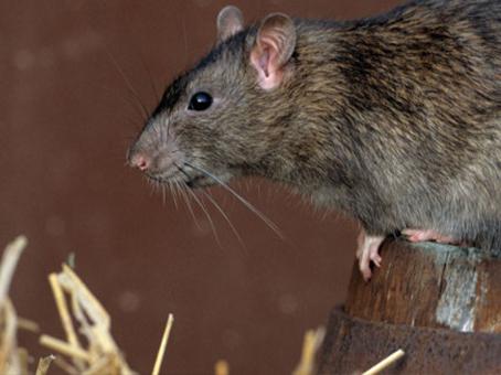 que-son-las-ratas